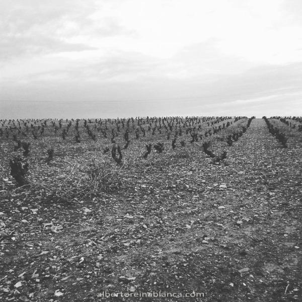 Viña. Tierra de Barros. Villafranca de los Barros (Badajoz) 2016-01-04