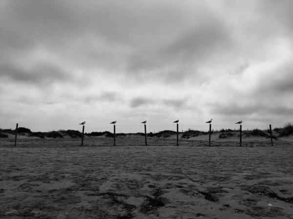 gaviotas, Los Toruños, El Puerto de Santa María (Cádiz) 2017-07-29