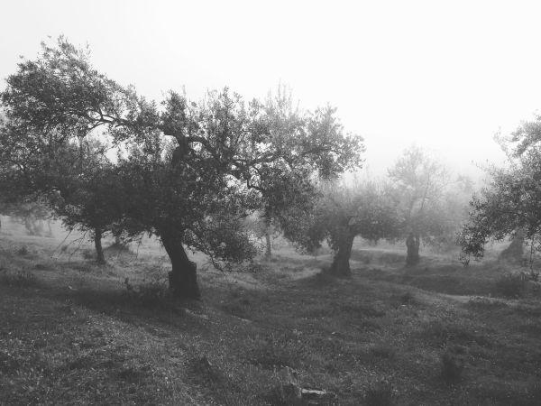 olivos. fuente del arco (badajoz) 2019-05-05